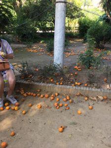 Oranges on ground