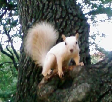 abino squirrel